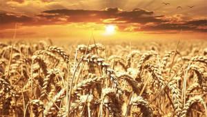 """Альтернативный ответ на вопрос """"кто накормит человечество"""" – генетически-модифицированная супер-пшеница"""